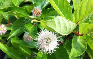 Buttonbush blossom