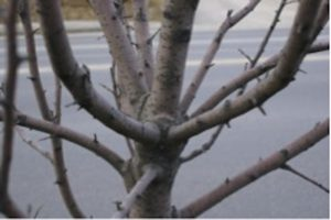 Young tree with crowded branch spacing.