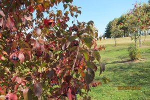 V. lentago in autumn