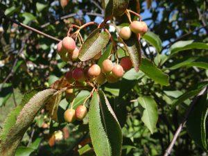V. lentago fruits