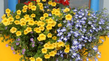 window box full of july-blossoming flowers