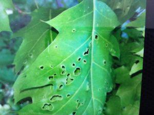 Damaged leaf on oak tree