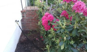 rhododendrons near foundation