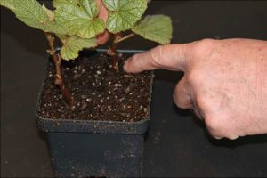 Firming the soil around the stem of the plant