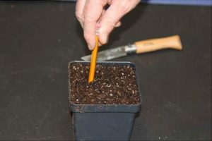 Using a pencil to make holes for planting in the soil