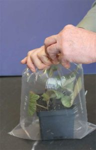 Sealing the plastic bag around the potted plant