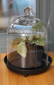 Bell jar over newly potted plant