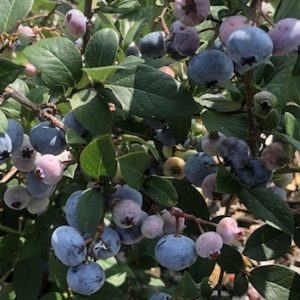 Highbush Blueberries at the UMaine Gardens at Tidewater Farm