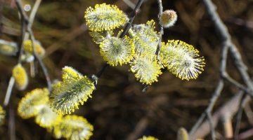 Shrub in flower in spring