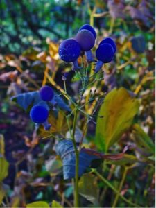 Blue single-seeded fruits