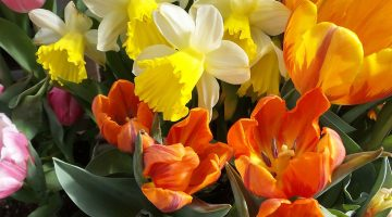 Daffodils and tulips at the Maine Garden Show