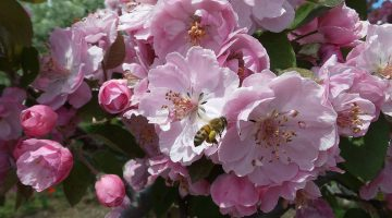 Bee on blossoming apple tree
