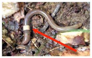 Crazy worm