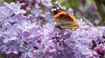 Red Admiral butterfly on lilacs
