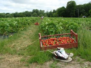 Tray of freshly picked strawberries at a pick-your-own strawberries farm