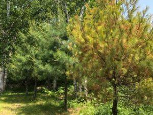 Pine tree with orange pine neeedles