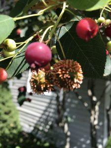 Apple Cider Hawthorn Rust