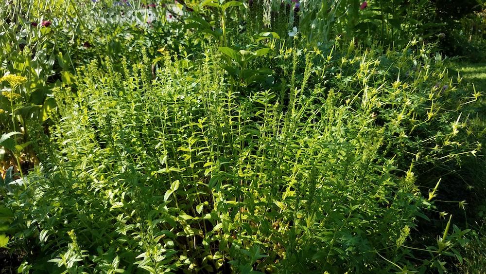 dividing plant