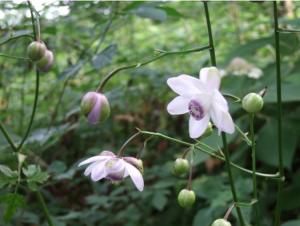 False anemone