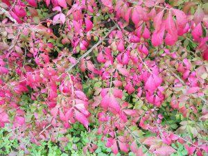 Burning Bush (Euonymus alatus)