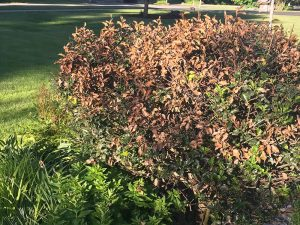 holly bush with brown leaves