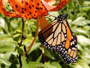Monarch butterfly on a tiger lily