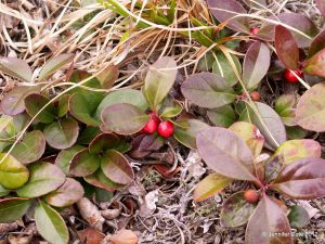 Gaultheria procumbens with berries in autumn