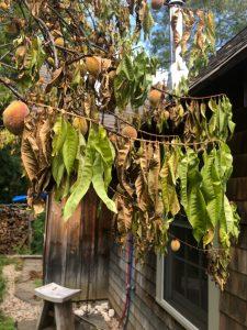 Browning leaves on peach tree