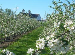 apple trees in blossom at Highmoor Farm