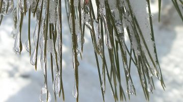 ice-covered pine needles