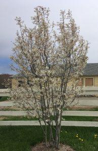 Amelanchier tree in bloom