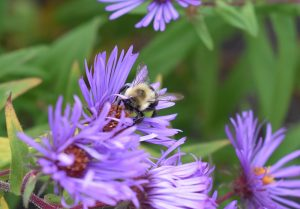bee on asters