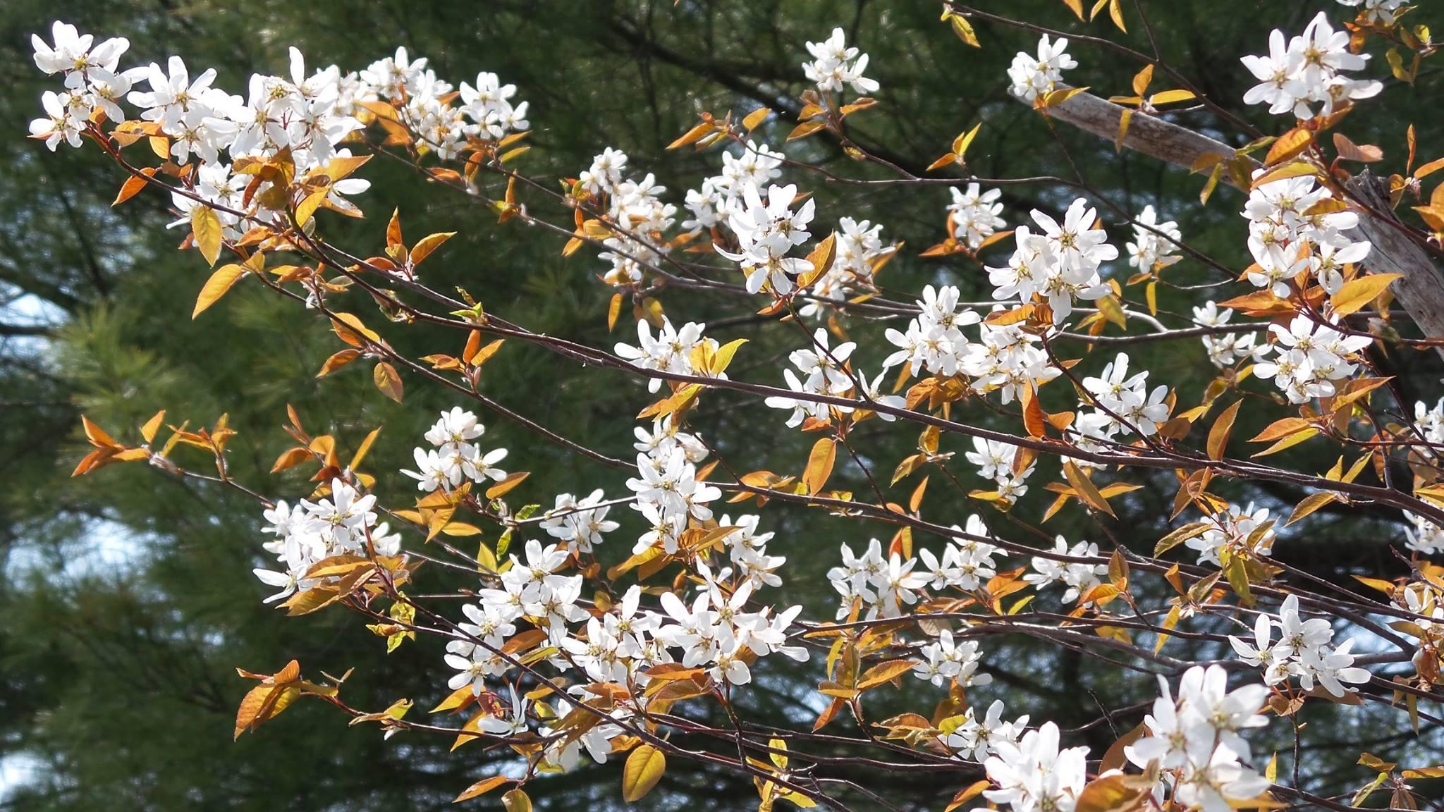 wild shadbush in blossom