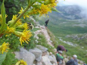 Apidae family on Mt. Katahdin.