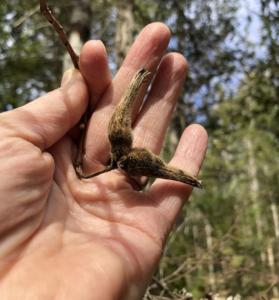 Corylus cornuta (beaked hazelnut)