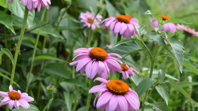 Purple Coneflower at Tidewater Farm