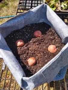 Grow bag with seed potatoes