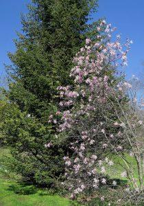 Magnolias contrast
