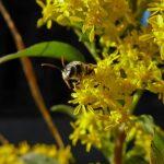 Possibly-Halictidae