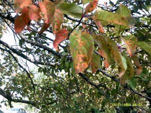 Apple Cedar Rust