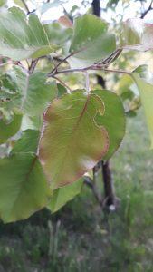 Fruit tee leaf