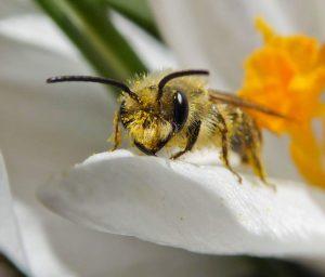 Andrenidae Bee
