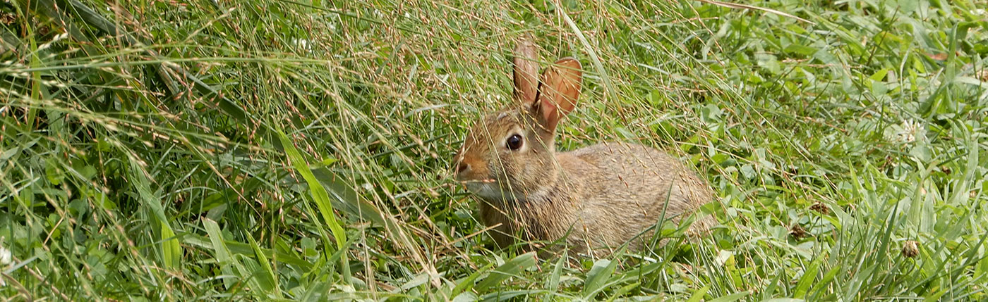 wild rabbit in field