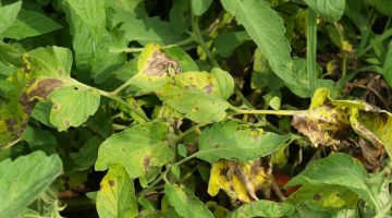 Leaf spots on tomato plant