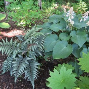 Hosta, Japanese Painted Fern and Podophyllum