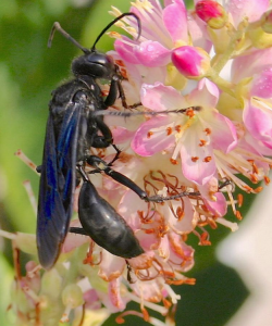 The Great Black Wasp