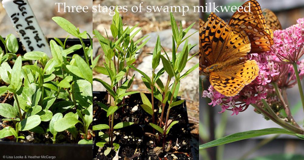 3stagesofswampmilkweed©