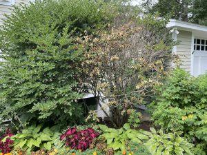 Lilac tree