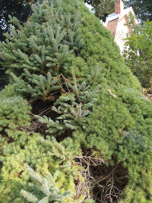 Growth on dwarf Alberta Spruce