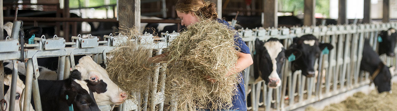 young farmer feeds hay to dairy cows